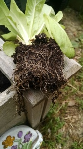 Root Bound Plant